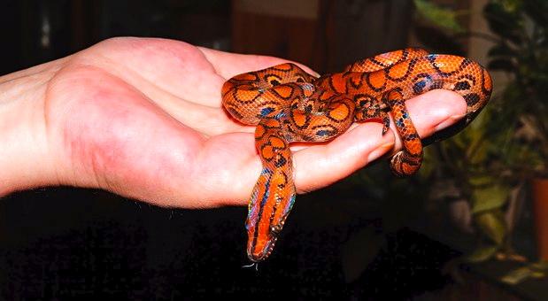 Rote Schlangen-Welle