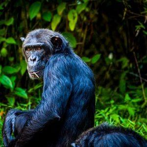 Maya-Welle Blauer Affe